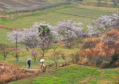宿根の大桜 10