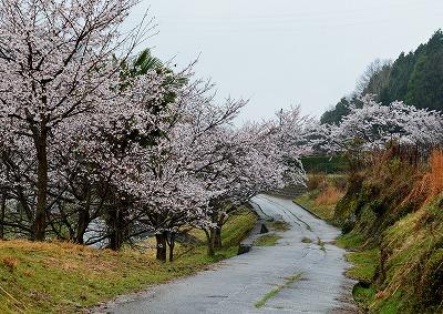 宿根の大桜 9