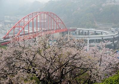 音戸の桜1