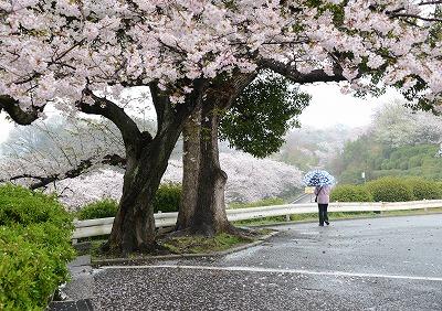 音戸の桜2