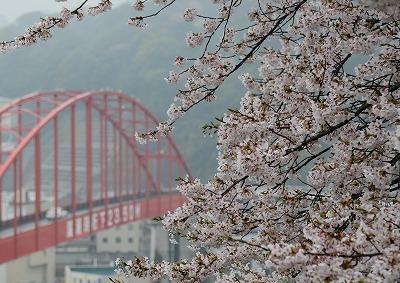 音戸の桜3