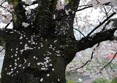 音戸の桜4
