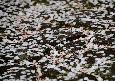 音戸の桜11