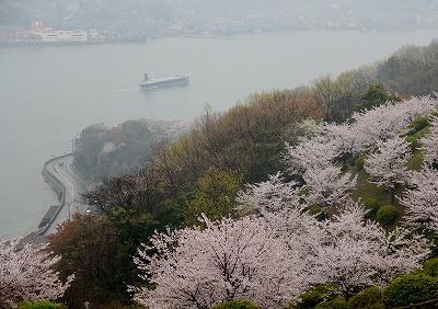 音戸の桜8