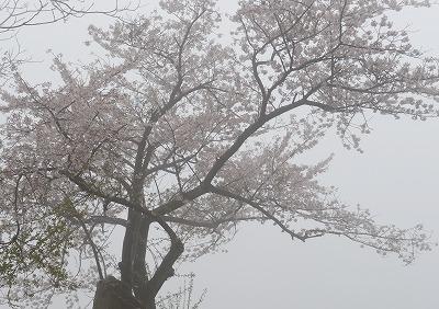 音戸の桜9