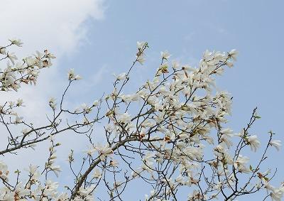 こぶしの花8