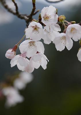 こぶしの花11