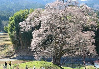 要害桜11