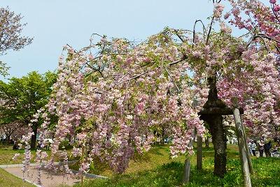 八重桜 12