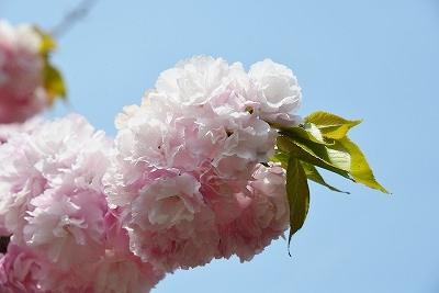 八重桜 4