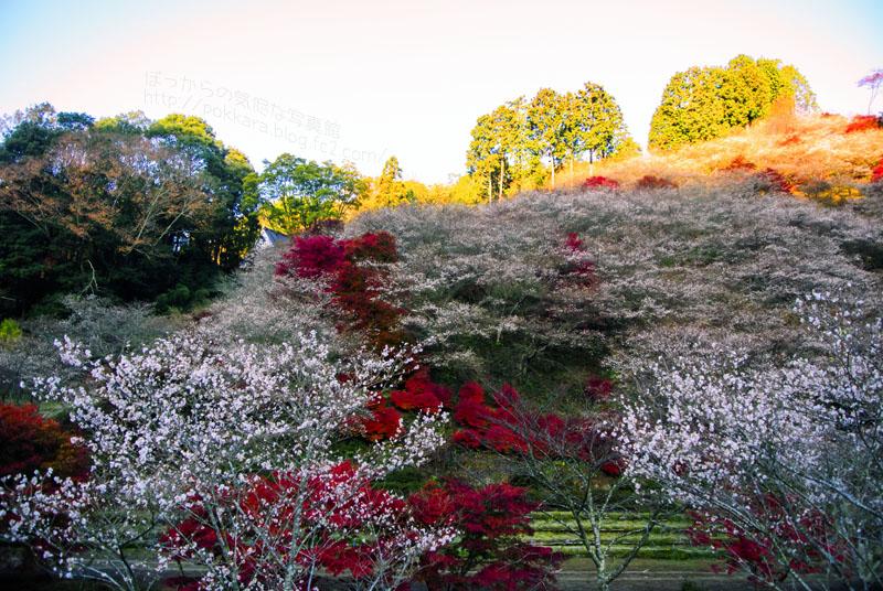 小原:紅葉と四季桜①