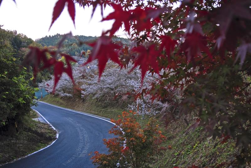 小原:早朝の四季桜①