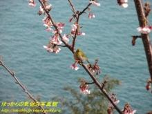 $ぽっからの気侭な写真館-梅の花とメジロ(さった峠)