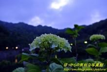 $ぽっからの気侭な写真館-紫陽花(青系①