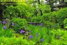 $ぽっからの気侭な写真館-無量寿寺、雨中の新緑と杜若
