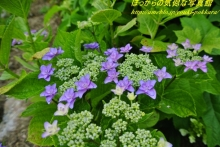 $ぽっからの気侭な写真館-紫陽花④
