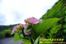 $ぽっからの気侭な写真館-紫陽花⑤
