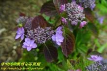 $ぽっからの気侭な写真館-紫陽花⑥