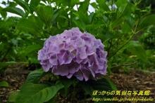 $ぽっからの気侭な写真館-紫陽花⑦