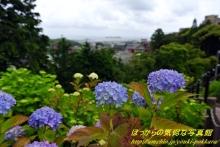 $ぽっからの気侭な写真館-紫陽花⑪