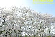 $ぽっからの気侭な写真館-黄金堤の輝く桜