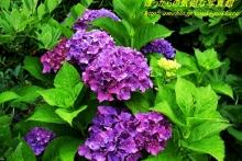 $ぽっからの気侭な写真館-紫陽花(紫)