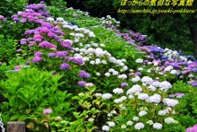 $ぽっからの気侭な写真館-形原紫陽花②