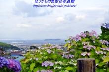 $ぽっからの気侭な写真館-形原紫陽花④