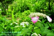 $ぽっからの気侭な写真館-本光寺・緑の中の紅紫陽花