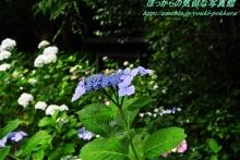 $ぽっからの気侭な写真館-本光寺・紫陽花