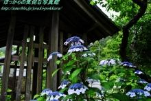 $ぽっからの気侭な写真館-本光寺・西廟所前紫陽花