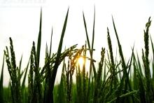 $ぽっからの気侭な写真館-夕陽と実る稲穂