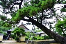 $ぽっからの気侭な写真館-実相寺:松の木
