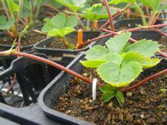[写真]土に還るエコなランナーピンでイチゴの子苗を留めた様子