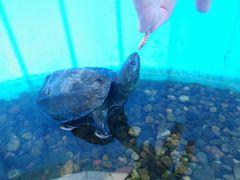 [写真]カメのクロちゃんが餌を食べようと首を伸ばしているところ