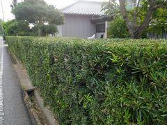 [写真]きれいに刈り込まれた自宅の生垣の様子