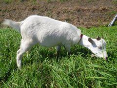 [写真]草を食べてお腹がいっぱいになったアランがの寝転んでいるところ