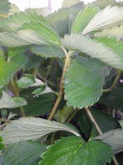 [写真]おいCベリーの苗の様子(大きな副葉2枚付き)