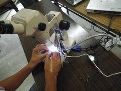 [写真]農園主が顕微鏡で花芽分化の検鏡をしているところ