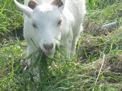 [写真]アランが草を頬張りながらこちらに近寄ってきたところ