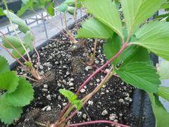 [写真]本圃ハウスに定植された紅ほっぺの葉の枝が赤くなった様子