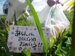 [写真]近所の方から頂いたアランへの誕生日プレゼントのリンゴとメッセージカード(後ろではリンゴを頬張るアラン)