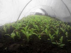 [写真]キンセンカの苗を、ビニールのトンネル入り口からのぞいた様子