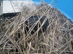[写真]水槽に入れた枯草の下に潜り込んでじっとしているカメのクロちゃん