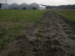 [写真]ベアハウス奥に耕した花畑にキンセンカの苗を植えたところ