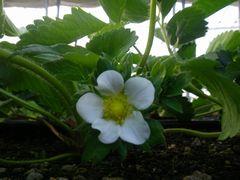 [写真]今年一番最初に咲いたいちごの花(おいCベリー)