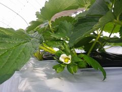 [写真]かなみひめの一番花が咲いている様子