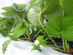 [写真]イチゴの葉を押さえたワイヤーの下から、イチゴの白い花をつけた果房が伸びている様子