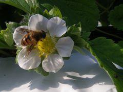 [写真]おいCベリーの花にとまっているミツバチの様子