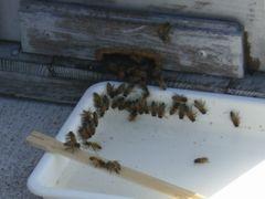 [写真]巣箱の前に置いた砂糖水に群がるミツバチ達の様子